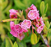 'Cadillac Mountain Kalmia' by Scott Bricker