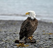 American Bald Eagle by Barbara Burkhardt