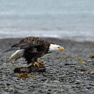 American Bald Eagle - Ready by Barbara Burkhardt