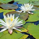 Egyptian White Water Lilies by ©Dawne M. Dunton
