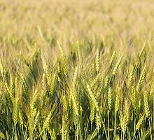 Green Wheat Closeup by Inimma