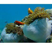 maldivian clown fish Photographic Print