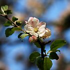 Apple Tree Blossom by kr1sta