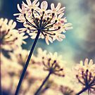 Queen Annes Lace flowers by Vicki Field