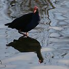 pukeko reflected by louise linskill