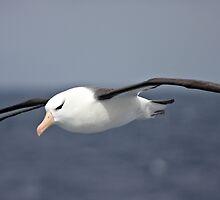 Black-browed Albatross ~ To Close by Robert Elliott