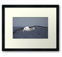 Black-browed Albatross ~ To Close Framed Print
