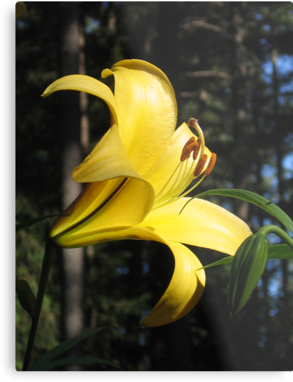 Brilliant Yellow Lily! by Pat Yager