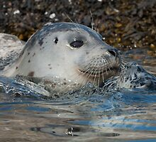 Seal Play by toby snelgrove  IPA