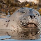 Seal: A portrait by toby snelgrove  IPA