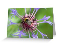 Bee on cornflower Greeting Card