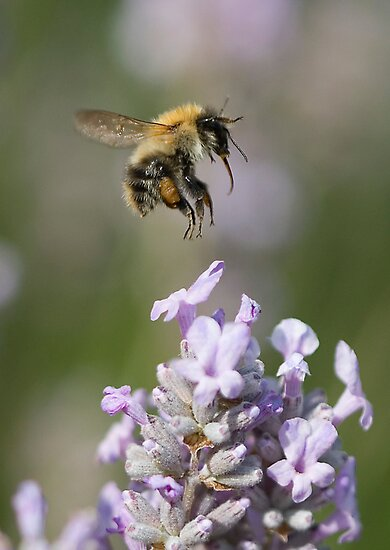 Bumble bee taking off from Lavender by Carole Stevens