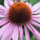 Echinacea flower by Amanda Gazidis