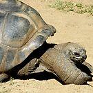 Stretch Tortoise by shanmclean