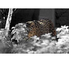 leopard adelaide zoo Photographic Print