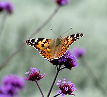 Painted Lady on Verbena by Caroline Anderson