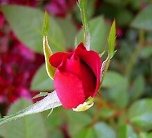 *RED ROSE BUD* by Van Coleman