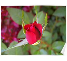 *RED ROSE BUD* Poster
