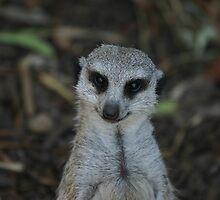 Meerkat by Nathan Dooley