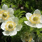 White Pasque Flower (Towhead Babies) by Vickie Emms