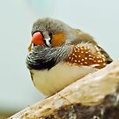 Zebra Finch by Steve  Liptrot