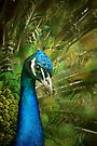 Indian Blue Peacock by Renee Dawson