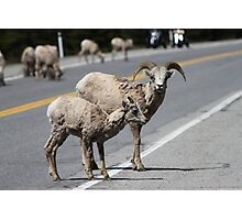 Canada: Bighorn Sheep Photographic Print