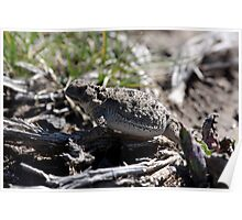Horned Toad - 19415 Poster