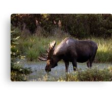 Bull Moose - 11646 Canvas Print