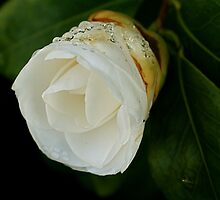 Raindrops on camelia bud by Humminggirl
