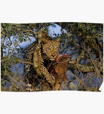 Leopard with prey Poster