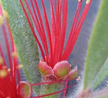 groundcover bottlebrush by betty porteus