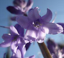 wild hyacinth by 2913