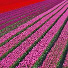 Tulip Field by Adri  Padmos