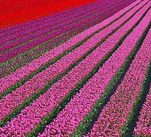 Tulip Field by Adri  Padmos
