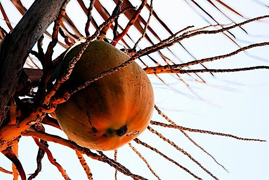 coo coo for coconuts by lucamaphoto