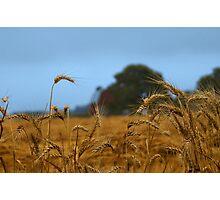 Kathy's Misty Wheat Field Photographic Print
