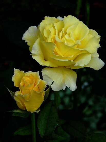 The Before And After Of A Yellow Rose...  by Angela Lance