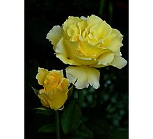 The Before And After Of A Yellow Rose...  Photographic Print