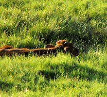 Long Horn Calf by Jan  Tribe