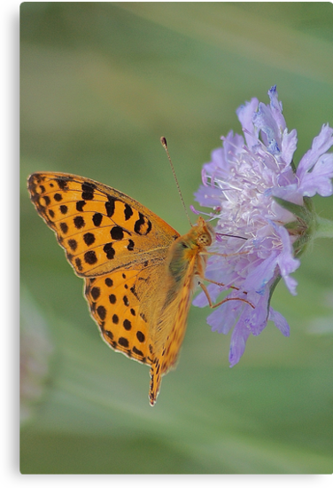 Butterfly on right position (High Brown Fritillary butterfly) by loiteke