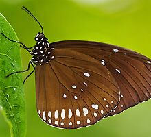 Common Crow (Euploea core) by Steve  Liptrot