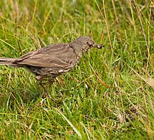 Meadow Pipit and Ants by kernuak