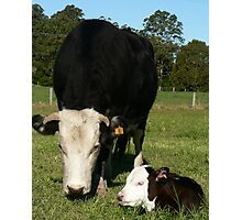Jane's new calf Photographic Print