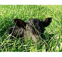 Calf In The Rye Photographic Print