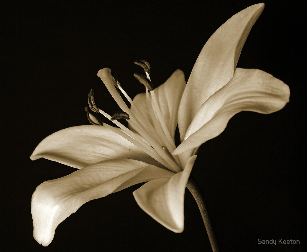 Lily in Sepia by Sandy Keeton