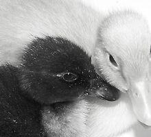 Ducky Love by Tracey Hampton