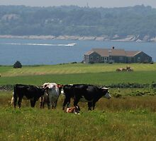 Cows on the farm by colleenboston