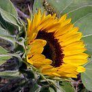 Sunflower by Len Bomba