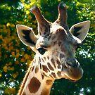 Giraffe at Sydney Zoo by emma jane murphy